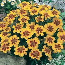 Marigold-  Dainty Marietta- Tagetes Patula- 25 Seeds