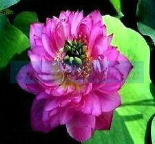 10 Mauve Jade Lotus Seeds Water Lily Pad Nymphaea Nelumbo Nucifera 60kind choose