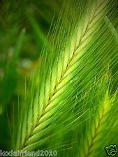 160 BARLEY Hordeum Vulgare Grain Grass Cover Crop Beer Seeds V-069 + Gift