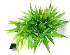 XL Javafarn / Microsorum pteropus Mutterpflanze, Barsch, robuste Wasserpflanze