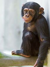Animal Photo Monkey Cute Baby Chimp Large Wall Art Print Poster Picture Lf1903