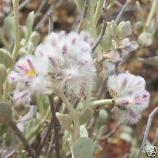 Cotton Bush, Silvertail Arid Area Perennial Seed Frost Hardy Ptilotus obovatus