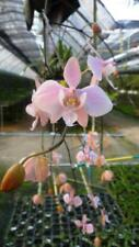 WOW Phalaenopsis Schilleriana orchid plant Thailand With CITES / PHYTO