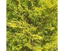 3 Leyland Cypress 'Castlewellan Gold' / Golden Leylandii 30-40cm in 9cm Pots