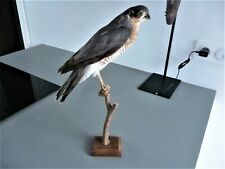 CURIOSITE TAXIDERMIE OISEAU ANCIEN FAUCON RAPACE OLD BIRD TAXIDERMY FALCON