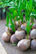 Coconut Tree (Green) Live Palm Sprouted Ready To Plant FREE SHIPPING - Sri Lanka