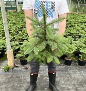 CHRISTMAS TREE  LIVE Pot grown Noble Fir 2-3ft