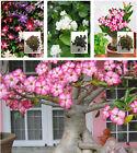 Adenium Obesum Seeds Desert Rose/Jasmine/Clematis Perennial Flower Garden Plant