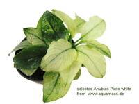 Anubias Pinto white  -  super neu und RAR  weiße Anubias, Anubias nana Pinto