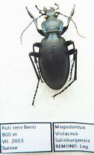 Carabus megodontus violaceus salisburgensis (male A1) from SWITZERLAND