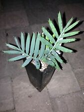 PACKAGE OF 3 CYCADS Encephalartos Lehmannii ICE BLUE CYCAD NURSERY Cold hardy