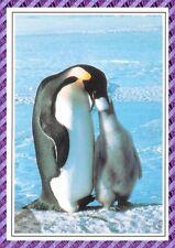 Carte Postale - Pingouin