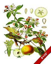 APPLE FRUIT BOTANICAL DRAWING PLANT ILLUSTRATION KITCHEN ART REAL CANVAS PRINT