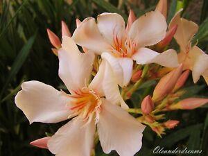 3 Oleander Stecklinge - ANGIOLO PUCCI - safrangelb