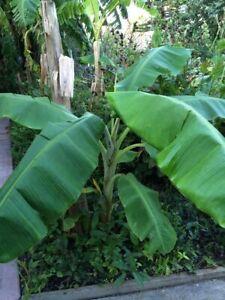 Banana Plant, Orinoco Banana, 'Musa orinoco'