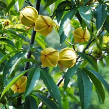 Pecan Seeds Nut Walnut Seed Bonsai Tree Fruit Seeds Of Perennial Garden 1PCS