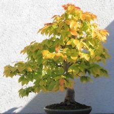 i! SCHEIN-BUCHE !i für die Bonsai Kultur geeignet niedlicher kleiner Baum.
