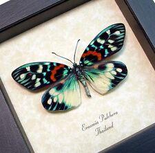 Real Framed Rare Erasmia Pulchera Day Flying Moth 8214
