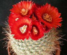 Parodia sanguiniflora exotic flowering color  rare cacti cactus seed 100 seeds