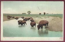 """Buffalo At Water"", Real Photo Postcard, 1909, Denver, Colorado"