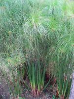 Echtes Zypern Gras -cyperus papyrus- Saatgut -Mengenauswahl 30 - 60 Samen