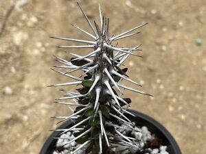 ROOTED Alluaudia Montagnacii Cactus Cati Succulent with Long Spines