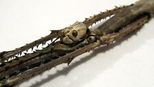 Tirachoidea cantori Stick Insect Taxidermy REAL Insect