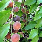 Dovyalis hebecarpa / Groseillier de Ceylan - lot de 10 graines