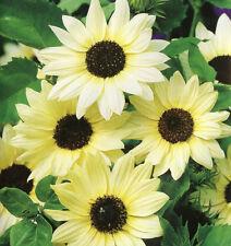 sunflower, Italian White, Sun Flower, 60 Seeds! groco