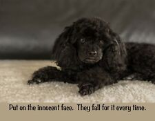METAL FRIDGE MAGNET Dwarf Black Poodle Dog Innocent Face They Fall For It Humor
