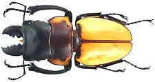 Insect - Odontolabis lowe ssp.(??) - N.Boeneo - Giant Male 59mm ....!!