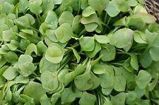 Organic Salad - Claytonia perfoliata Winter Miners Lettuce 5g Seeds  Large pack