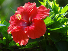 Red Althea - Rose of Sharon - Healthy Bare Root Plant -  Shrub - 3 pack