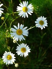 500 Samen Echte Kamille Matricaria recutita