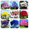 200 Pcs Ourdoor Paulownia Seeds Tree Bonsai Plants 10 Rare Colors Plants Garden