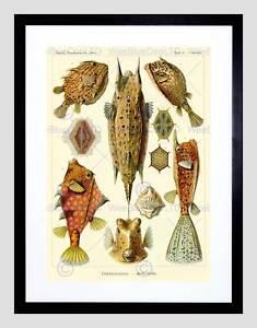 NATURE FISH OSTRACIONTES ERNST HAECKEL BIOLOGY GERMANY ART PRINT B12X2850