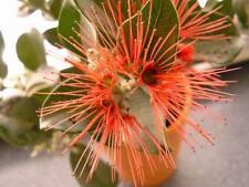 Austral. Weihnachtsbaum - Hilft gegen Motten & Fliegen