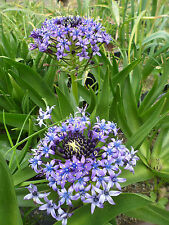 Scilla peruviana blue and white forms mixed, 1 PACK OF SEEDS (30 seeds)