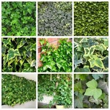 50 Hedera Seeds Plants Grass Decorate Ivy Flowers Beauty Life Beauty Fresh Green