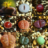 50x Mixed Rare Lithops Seeds Succulent Living Stones Organic Plant Seeds