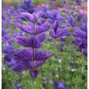 Clary Oxford Blue (Salvia) - 300 Seeds - Hardy Annual