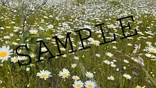 Digital Photo Picture Image  Daisy field Flower Bloom