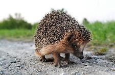 Incorniciato stampa-British HEDGEHOG passeggiata lungo la strada (foto poster arte animali