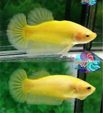 LIVE BETTA FISH PAIR M/F SUPER YELLOW SOLID COLOR HMPK - READY TO BREEDING (SY3)