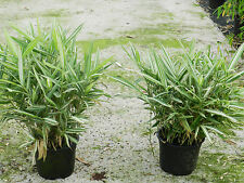 Bamboe/Bambou/Pleioblastus variegatus  1 pce