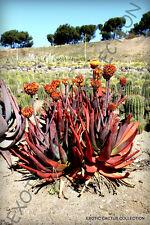 RARE ALOE CAPITATA GNEISSICOLA exotic cacti succulent cactus seed agave 10 SEEDS