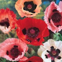 "Papaver orientale ORIENTAL POPPY Mixed Colors✿2000 SEEDS✿Large Flowers 36"" Tall"