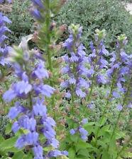 Brunfelsia Latifolia 4 graines HIER AUJOURD/'HUI DEMAIN H457 KISS ME QUICK SEEDS
