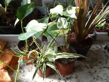 Lot 4 Plants of Interior Dracaena, Potho , Tapes Chlorophito and Syngonium Pixie