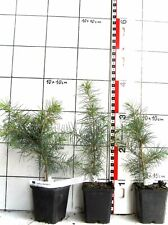 Cedrus deodara, Himalaya cedro (mehrj. pianta)